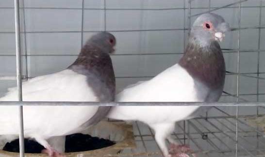 元宝鸽究竟怎么区分公母(图片)?