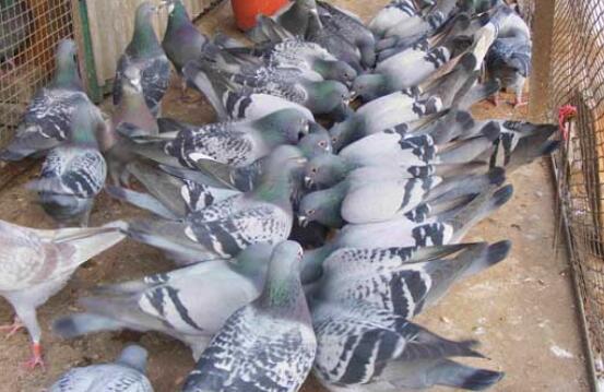 怎么提高肉鸽的繁殖率有什么方法吗?