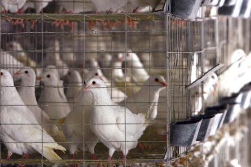 2019年养50对肉鸽子一年利润究竟有多少?