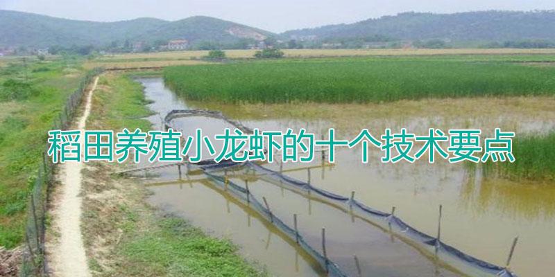 稻田养殖小龙虾的十个技