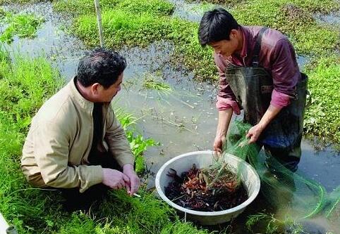 稻田养殖小龙虾的十个技术