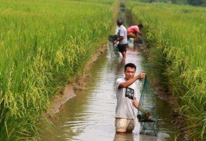 稻田养殖小龙虾要注意什么?