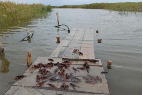 怎样在稻田里套养小龙虾?