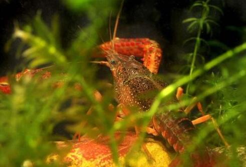 科学正确投喂小龙虾提高产