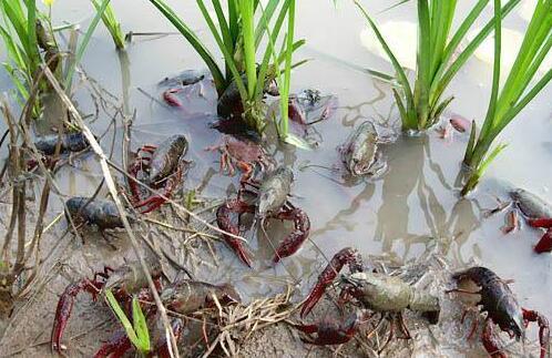 怎样在稻田给小龙虾投喂饲料?