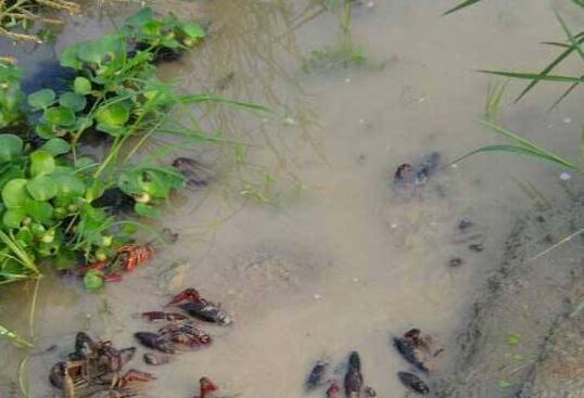 冬天养殖小龙虾要用什么水草