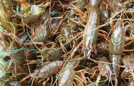 现在养殖小龙虾一亩可赚多少钱?