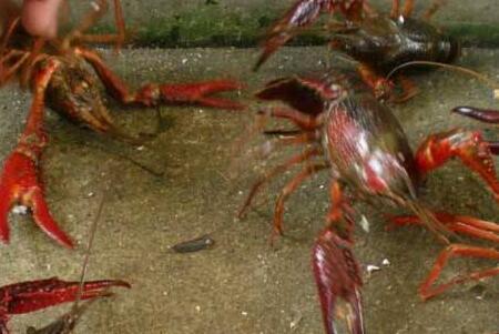 养十亩龙虾要多少成本