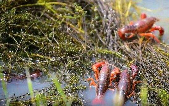 小龙虾网箱养殖靠谱吗?