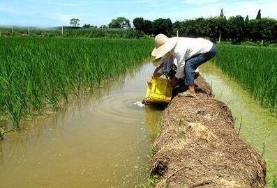 稻田养小龙虾用喂食吗?
