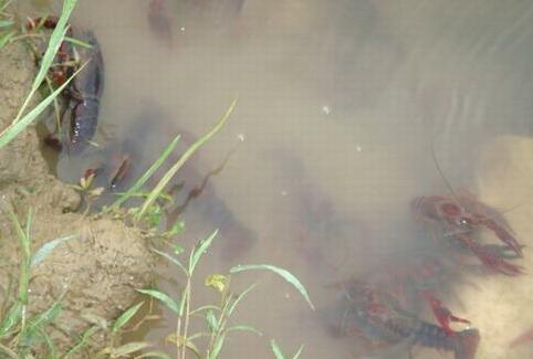 东北可以养殖小龙虾吗