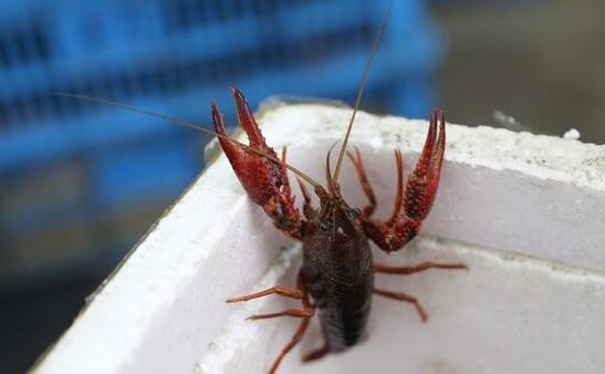 2019年小龙虾多少钱一斤?2019年小龙虾养殖分析