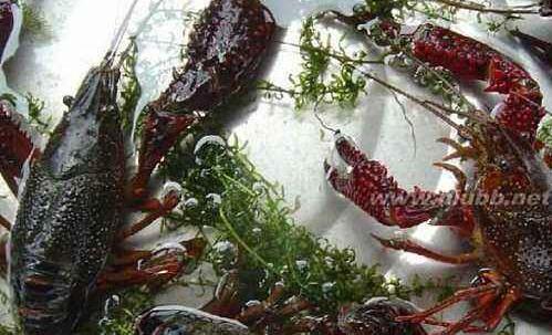 小龙虾繁殖快吗?