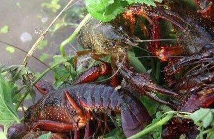 野生龙虾苗可以大规模养殖吗?
