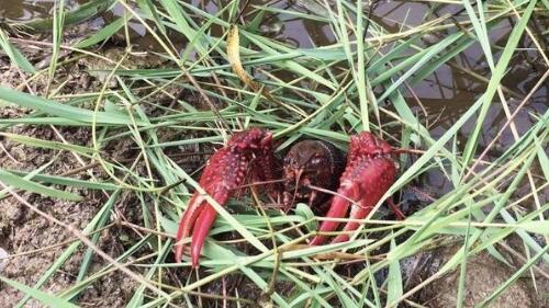 小龙虾养殖血泪经历没技术没经验还是少碰为妙!