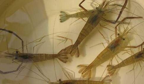 池塘青虾高产养殖技术方法
