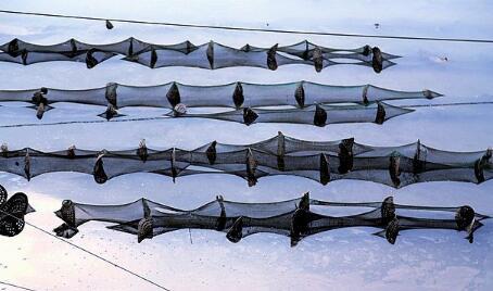 基围虾可以淡水养殖吗?