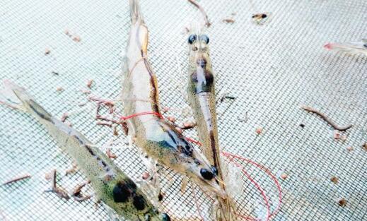 基围虾的养殖盐度和温度多少合适?