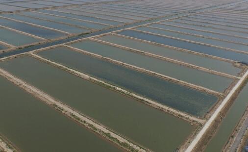 基围虾亩养殖利润是多少?