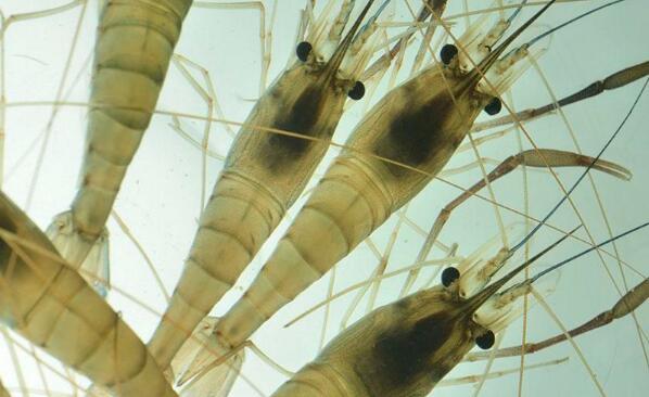罗氏沼虾高产养殖技术新方法