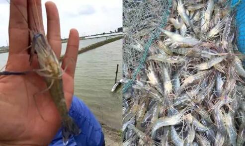 罗氏沼虾工厂化(大棚)高产养殖技术大全
