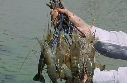 罗氏沼虾的养殖亩产量多少?