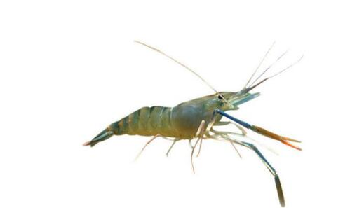 罗氏沼虾养殖水深多少比较合适?