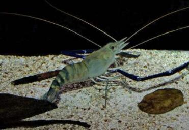 罗氏沼虾养殖亩利润有多少?