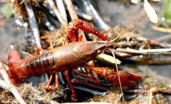 养龙虾一亩能赚多少钱,成本要投多少?