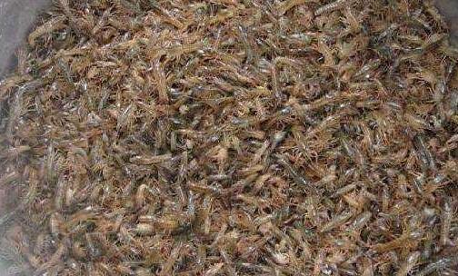 小龙虾幼苗能消毒吗?