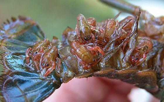 小龙虾养多久才能繁殖?