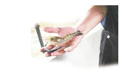 5月份罗氏沼虾价格多少钱一斤前景怎么样?