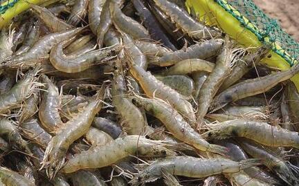 2019年南美白对虾养殖市场分析和走势