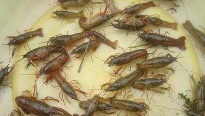龙虾养殖需要投入多少资金?