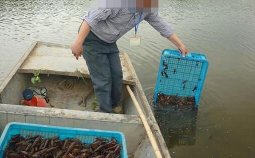 养殖龙虾一亩可以收多少斤?