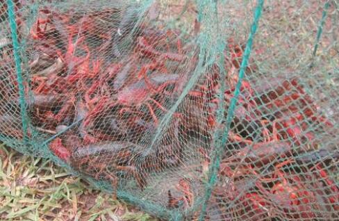 2020养殖小龙虾一亩的成本