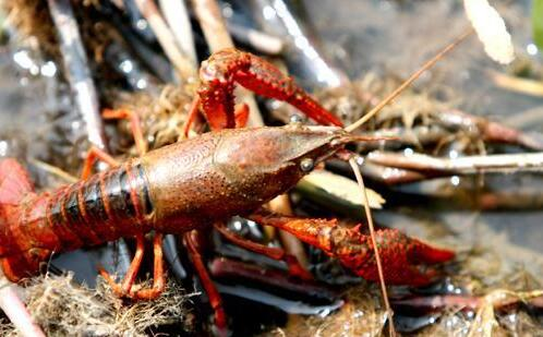 2019养殖龙虾的真实利润到底有多少?