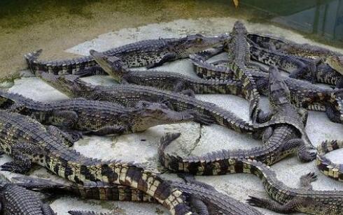 现在个人养殖鳄鱼需要办什么手续吗?