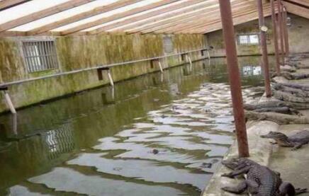 现在养殖100条鳄鱼要投入多少钱?