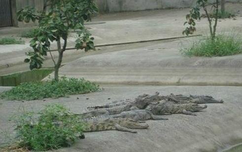 养殖20条鳄鱼需要投资多少钱?