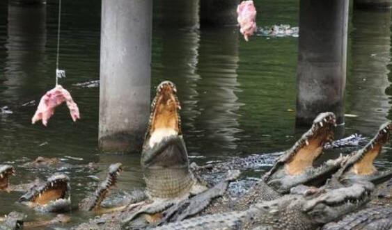2020养殖鳄鱼前景怎么样有没有利润?