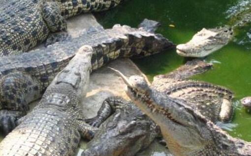 2020养殖鳄鱼的利润有多少?
