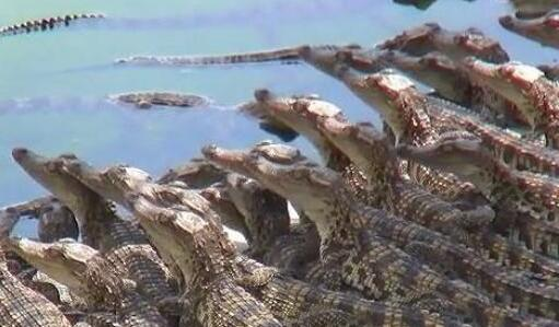 2020鳄鱼养殖技术大全有哪些?