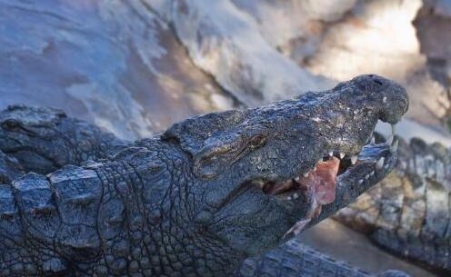 鳄鱼养殖需要怎样的环境?
