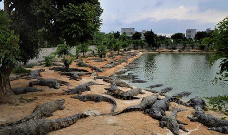 2020养鳄鱼还有钱赚吗?