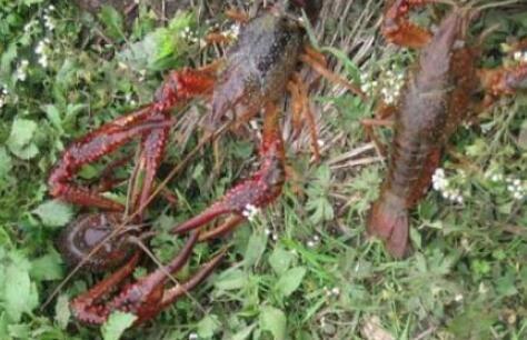 刚刚投放的小龙虾苗为什么会死亡?