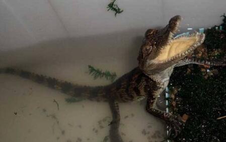 鳄鱼苗怎么养喂什么?