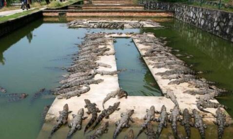 2019如何开办一家鳄鱼养殖场?