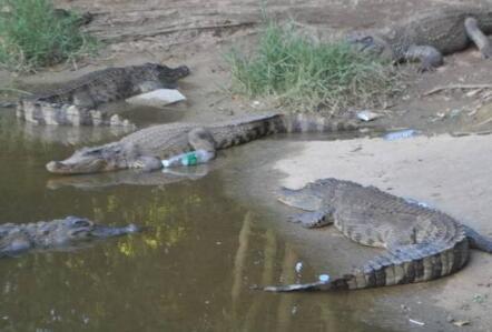 养殖鳄鱼前期大概要投资多少?
