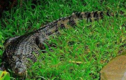 鳄鱼的生存温度多少合适?
